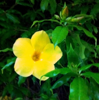 Beautiful cheering allamanda