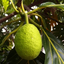 Young breadfruit - I pictured it growing on vines, not tall leafy trees.