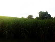 Driving back to Kingston through the sugar cane fields